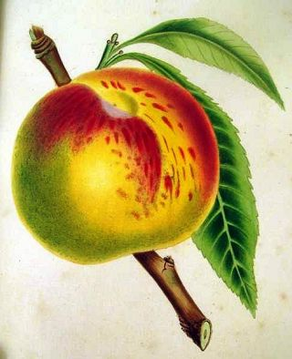 THE FRUITS AND FRUIT TREES OF AMERICA; OR, THE CULTURE, PROPAGATION, AND MANAGEMENT, IN THE...